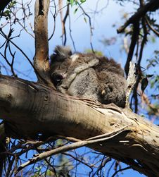 Free Koala On A Tree Royalty Free Stock Photo - 17692705