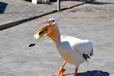 Pelican Eating Fish Royalty Free Stock Photo