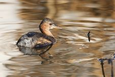 Free Little Grebe Royalty Free Stock Photography - 17693427