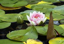 Free Water Lily Royalty Free Stock Photography - 17693557