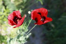 Free Poppy Field With Red Flowers Royalty Free Stock Images - 17693559