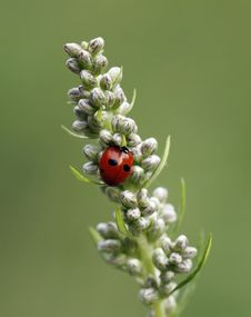 Free Ladybird Royalty Free Stock Photos - 17693588