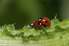 Free Ladybirds Royalty Free Stock Images - 17693599
