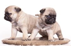 Free Purebred Pug Puppy Royalty Free Stock Photo - 17696115