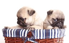 Free Purebred Pug Puppy Royalty Free Stock Photos - 17696138