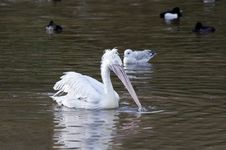 Free White Pelican Stock Photography - 17698592