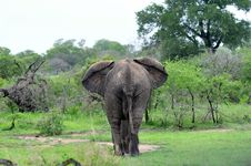 Free Elephant Walking Into Bush Stock Photo - 17698800