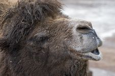 Free Camels Head Royalty Free Stock Images - 17699149