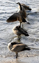 Free Canadian Geese Royalty Free Stock Photography - 1770307