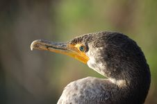 Free Double-crested Cormorant Stock Image - 1770071