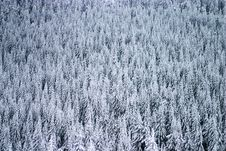 Free Evergreen Texture Royalty Free Stock Images - 1770109