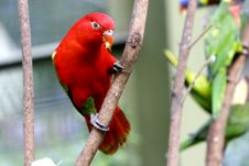 Free Red Lovebird On Tree Royalty Free Stock Photos - 1771238