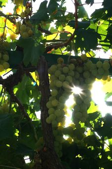 Free Grapes And Sunshine Royalty Free Stock Images - 1771519