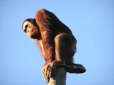 Free Orangutan Sitting On Top Of Post Stock Photography - 1772132