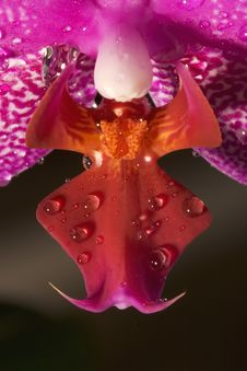 Free Phalaenopsis Orchid (Moth Orchid) Royalty Free Stock Photography - 1772337