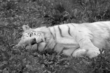 Free White Tiger Resting In Black And White Stock Image - 1772811