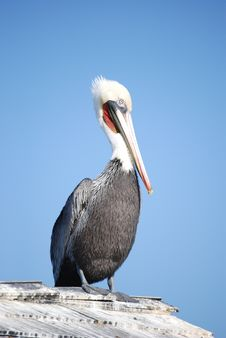 Free Pelican Stock Photo - 1772840