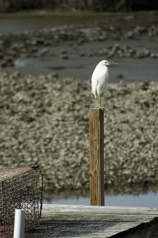 Free Snowy Egret With Crab Trap Royalty Free Stock Photo - 1773185