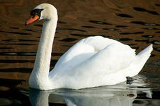 Free Moire Swan Royalty Free Stock Photography - 1773397