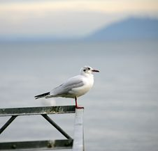 Free Sea-gulls 2 Stock Photos - 1774913