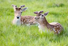 Free Deers In A Meadow Stock Photo - 1775070