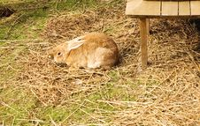 Free Brown Rabbit Stock Photography - 1775362