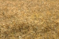 Texture Of Cornfield Royalty Free Stock Photography