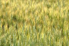 Free Texture Of Cornfield Royalty Free Stock Photos - 1775508