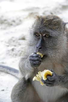 Free Portrait Of A Monkey Stock Image - 1776941