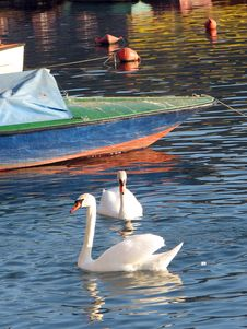 Free Two Swans Royalty Free Stock Image - 1777576
