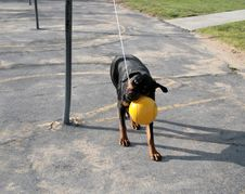 Free Rottweiler Tetherball Royalty Free Stock Photos - 1777768