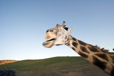 Free Giraffe Close-up Stock Photos - 1778613
