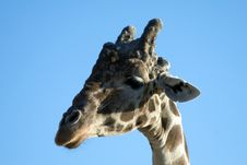 Free Giraffe Close-up Stock Photos - 1778753