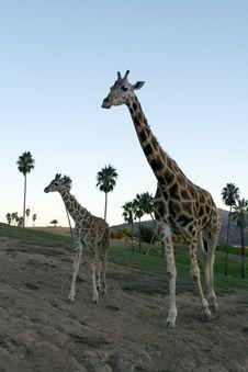 Free Giraffe Family Stock Image - 1778791