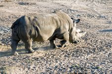 Free White Rhinoceros Royalty Free Stock Photo - 1779385