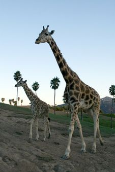Free Giraffe Family Stock Image - 1779461