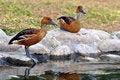 Free Duck Stock Photos - 17700723