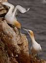 Free Gannets Find A Mate Stock Image - 17701561