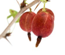 Free Gooseberries. Royalty Free Stock Photos - 17700648