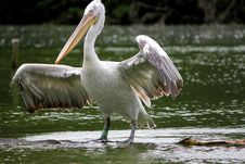 Free Pelican White And Black Royalty Free Stock Images - 17700839