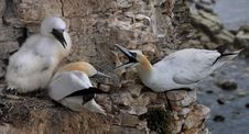 Free Gannets On The Cliff Face Stock Image - 17701601