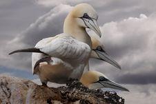 Free Three Gannets Stock Photo - 17702280