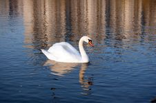Free Swan On City Stock Images - 17702884