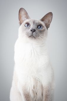 Free Siamese Cat On Gray Background Stock Images - 17705814