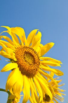 Free Sunflower Close Up And The Blue Sky Stock Images - 17706264