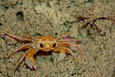 Free Yellow Ghost Crab Royalty Free Stock Image - 17706306