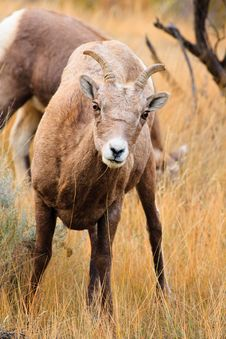 Free Bighorn Sheep Ewe Royalty Free Stock Image - 17706446