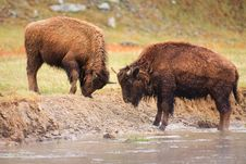 Free Bison Fighting Along River Royalty Free Stock Photo - 17706625