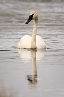 Free Trumpeter Swan Swimming Royalty Free Stock Image - 17706636