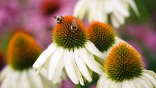 Free Bees Feeding On Cone Flower Stock Photography - 17706642